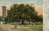 """Mobile, Ala. Live Oak Tree (Spreading over 100 feet.)"""