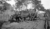 Tom Riley with his oxen team on a dirt road in Wilcox County, Alabama.