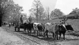 Marvin, an African American man, with his oxen team on a dirt road in Wilcox County, Alabama.