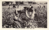 """World's Most Famous Cotton Field Scene / Alabama's Alexandria Valley about 1890."""