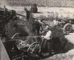 Harvesting a crop of peanuts in Alabama.