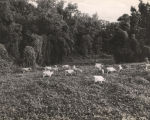 Cattle grazing on kudzu.