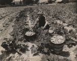 Man picking squash on a farm in Alabama.