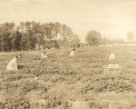 Four young women picking strawberries in Cullman County, Alabama.