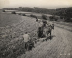 Three teams of horse-drawn plows preparing a field to be seeded with alfalfa.