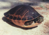 Alabama red-bellied turtle, the state reptile.