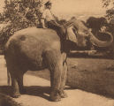 """'Miss Fancy,' the Elephant Presented to the Children of Birmingham by the Age-Herald, Out..."