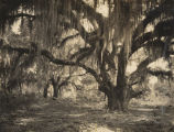 """Jackson's Oak"" in Baldwin County, Alabama, where Andrew Jackson stood to address his..."