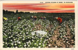 Cotton Pickers at work, in Dixieland