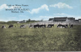 Cattle on Winter Pasture, 1913-14, MARBURY PLATEAU, Marbury, Alabama.